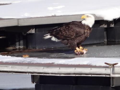 Haverstraw eagle 006