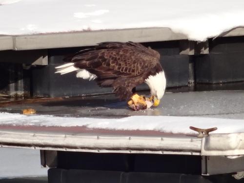 Haverstraw eagle 007